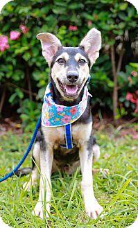 Shepherd (Unknown Type)/Labrador Retriever Mix Puppy for adoption in Castro Valley, California - Ben