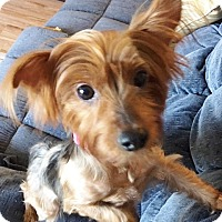 Adopt A Pet :: Lyza - Fairview Heights, IL