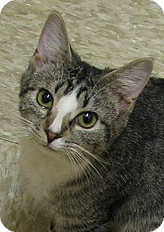 Domestic Shorthair Cat for adoption in Tulsa, Oklahoma - Mayflower
