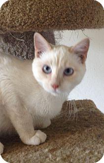 Siamese Kitten for adoption in Santa Rosa, California - Lemon