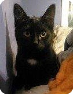 Domestic Shorthair Kitten for adoption in Hampton, Virginia - CHILI