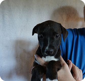 Boxer/Labrador Retriever Mix Puppy for adoption in Oviedo, Florida - Hailey