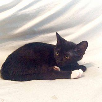 Domestic Shorthair Kitten for adoption in LaGrange Park, Illinois - Boots