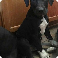 Adopt A Pet :: Levi Beau - Tampa, FL