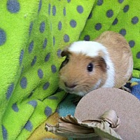 Guinea Pig for adoption in Coral Springs, Florida - Angus