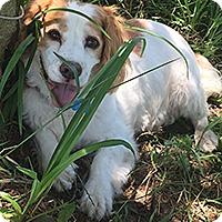 Adopt A Pet :: Max - Chantilly, VA