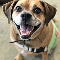 Adopt A Pet :: Murphy - Los Angeles, CA