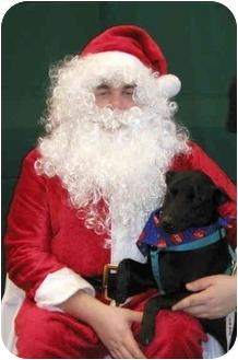 Australian Cattle Dog/Labrador Retriever Mix Puppy for adoption in LaFayette, Alabama - markie