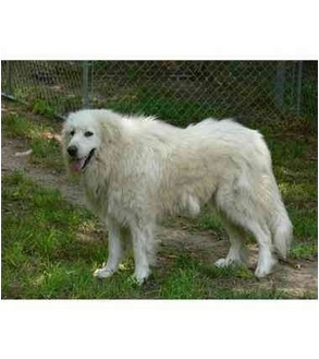 Great Pyrenees Dog for adoption in Kyle, Texas - Caddaeux