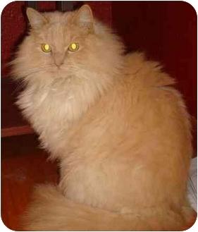 Persian Cat for adoption in Sheboygan, Wisconsin - Tom