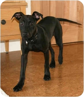 Doberman Pinscher/Bulldog Mix Puppy for adoption in Santa Rosa, California - Jodi