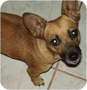 Chihuahua Mix Dog for adoption in Gilbert, Arizona - Rhonda
