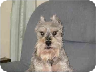 Schnauzer (Miniature) Dog for adoption in North Benton, Ohio - Winston (hypo)