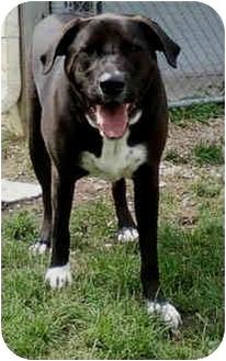 Labrador Retriever Mix Dog for adoption in Marseilles, Illinois - Spot