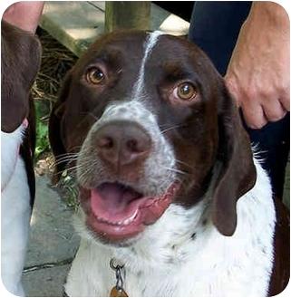 English Springer Spaniel Mix Dog for adoption in Columbus, Ohio - Sassy