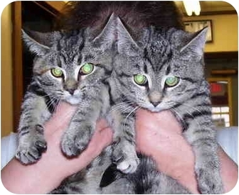Domestic Shorthair Kitten for adoption in Somerset, Pennsylvania - Susie-Stacey