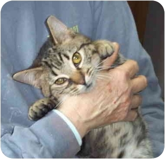 Domestic Shorthair Cat for adoption in Metamora, Indiana - Penny