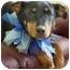Photo 1 - Rottweiler Mix Puppy for adoption in Okotoks, Alberta - Cashew