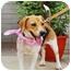 Photo 2 - Beagle Mix Dog for adoption in Encino, California - Kelly