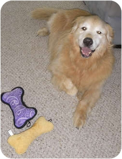 Golden Retriever Dog for adoption in Murdock, Florida - Tyler