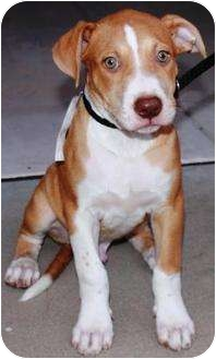German Shorthaired Pointer/American Pit Bull Terrier Mix Puppy for adoption in Gilbert, Arizona - Brutus