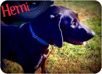 Great Dane/Labrador Retriever Mix Dog for adoption in Watertown, South Dakota - Hemi