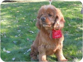 Cocker Spaniel Dog for adoption in Riverside, California - Tammy