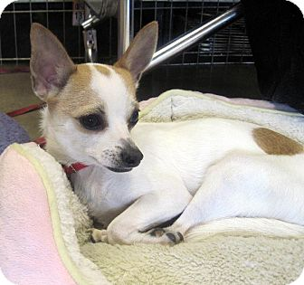 Chihuahua/Rat Terrier Mix Dog for adoption in Overland Park, Kansas - Mozart