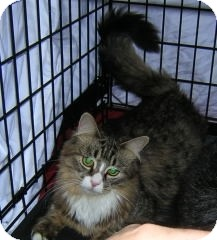 Maine Coon Cat for adoption in Cranford/Rartian, New Jersey - Sweetie