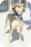 Shepherd (Unknown Type)/Australian Cattle Dog Mix Dog for adoption in Hagerstown, Maryland - Clover (Reduced to $300