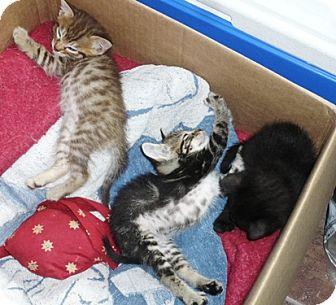 Domestic Shorthair Kitten for adoption in Castro Valley, California - Kittens
