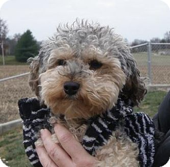 Poodle (Miniature)/Yorkie, Yorkshire Terrier Mix Dog for adoption in Huntingburg, Indiana - Lanie