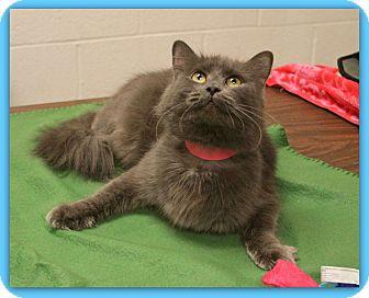 Domestic Longhair Cat for adoption in Marietta, Georgia - CHATHAM