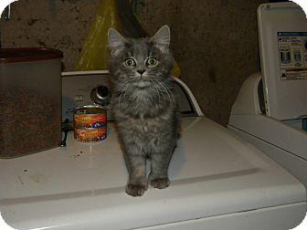 Domestic Mediumhair Kitten for adoption in Hamden, Connecticut - Jamie