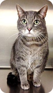 Domestic Shorthair Cat for adoption in Dublin, California - Seymour