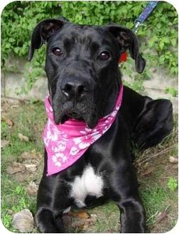 Great Dane Mix Dog for adoption in Upland, California - Kaya