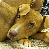 Adopt A Pet :: Tallulah - Chesterfield, VA