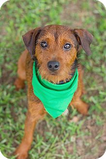 Terrier (Unknown Type, Small) Mix Dog for adoption in Portsmouth, Rhode Island - Bart-w/video!