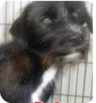 Labradoodle/Bearded Collie Mix Dog for adoption in Lincolnton, North Carolina - Bob-URGENT EUTH JUNE 25