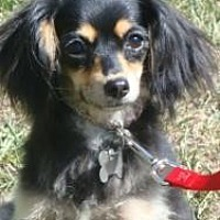 Cavalier King Charles Spaniel/Spaniel (Unknown Type) Mix Dog for adoption in Sherman Oaks, California - Nina - VIDEO!