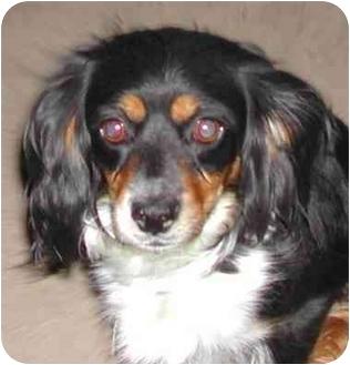 Cocker Spaniel Dog for adoption in El Segundo, California - Peilee