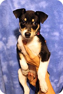 Border Collie/Australian Cattle Dog Mix Puppy for adoption in Westminster, Colorado - Wendi