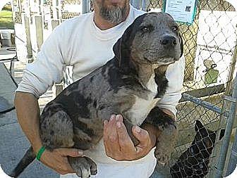Catahoula Leopard Dog/Labrador Retriever Mix Puppy for adoption in Manhattan, New York - Kairo