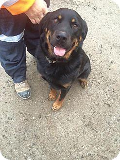 Rottweiler/Labrador Retriever Mix Dog for adoption in Alliston, Ontario - Junior