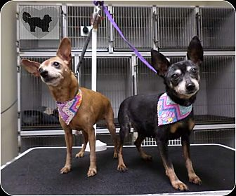Chihuahua Mix Dog for adoption in Brea, California - MUFFIN AND MACY