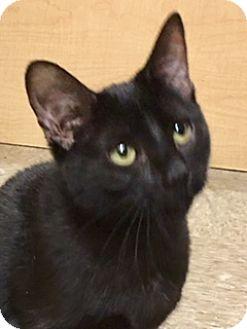 Bombay Kitten for adoption in Houston, Texas - Lovey
