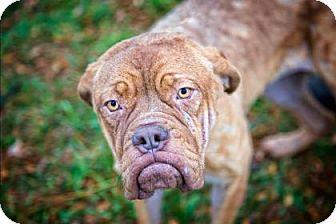 Dogue de Bordeaux/Terrier (Unknown Type, Medium) Mix Puppy for adoption in Fulton, Missouri - Clarice- Ohio