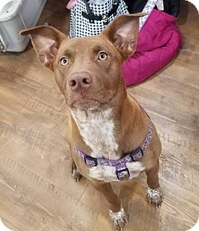 Cattle Dog/Labrador Retriever Mix Dog for adoption in Laingsburg, Michigan - Co Co