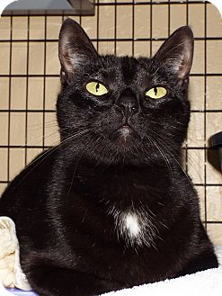 Domestic Shorthair Cat for adoption in Grants Pass, Oregon - Yve