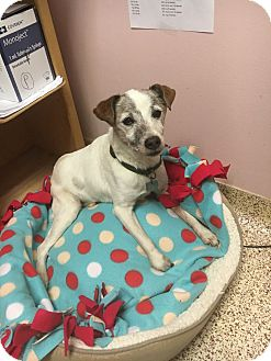 Jack Russell Terrier Mix Dog for adoption in Indianapolis, Indiana - Tony
